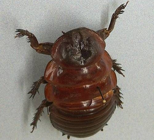 burrowingcockroach.jpg.638x0_q80_crop-smart